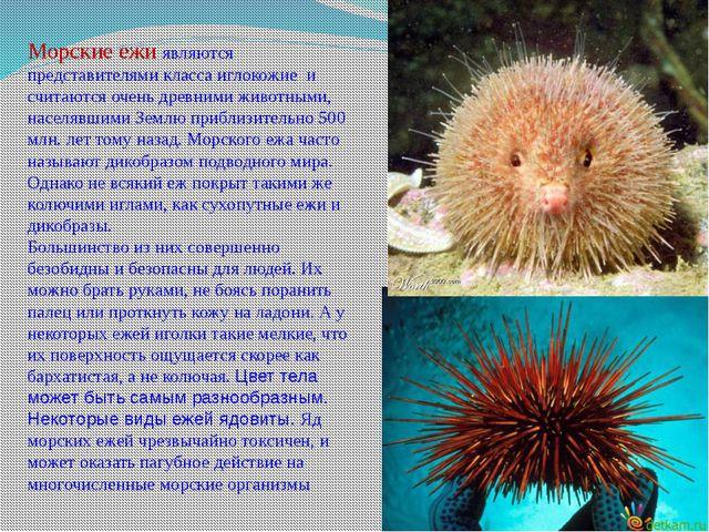 Морские ежиявляются представителями классаиглокожие и считаются очень древн...