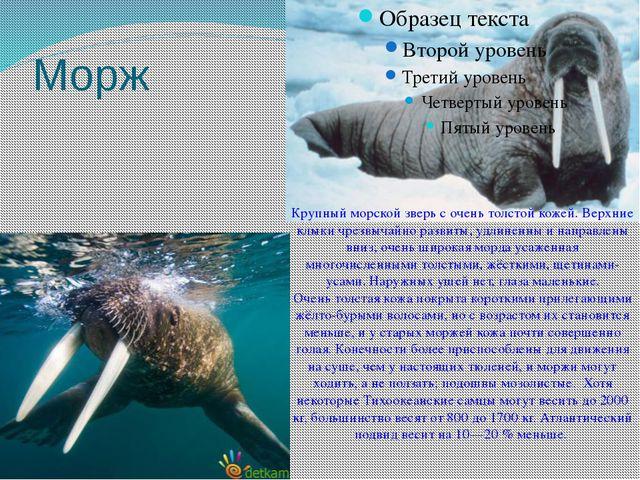 Морж Крупный морской зверь с очень толстой кожей. Верхние клыки чрезвычайно р...