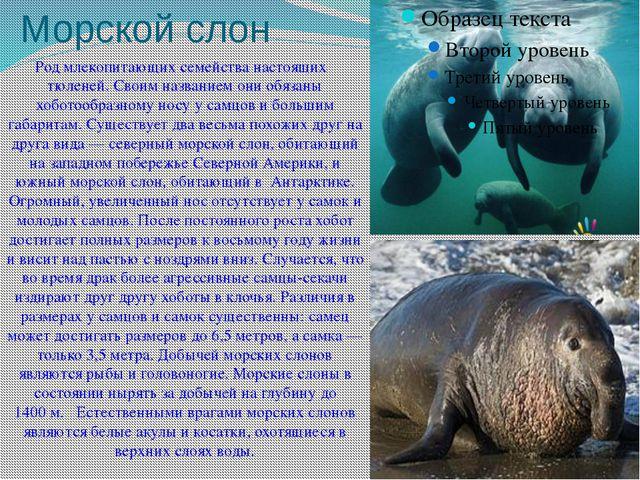 Морской слон Родмлекопитающихсемейства настоящих тюленей. Своим названием о...