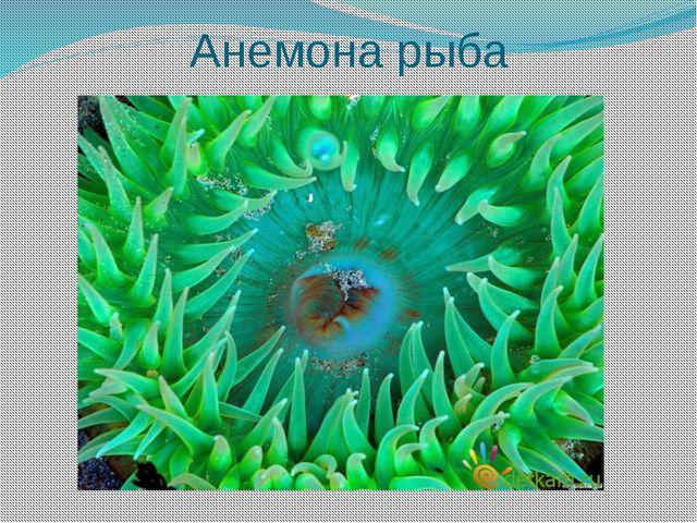 Анемона рыба