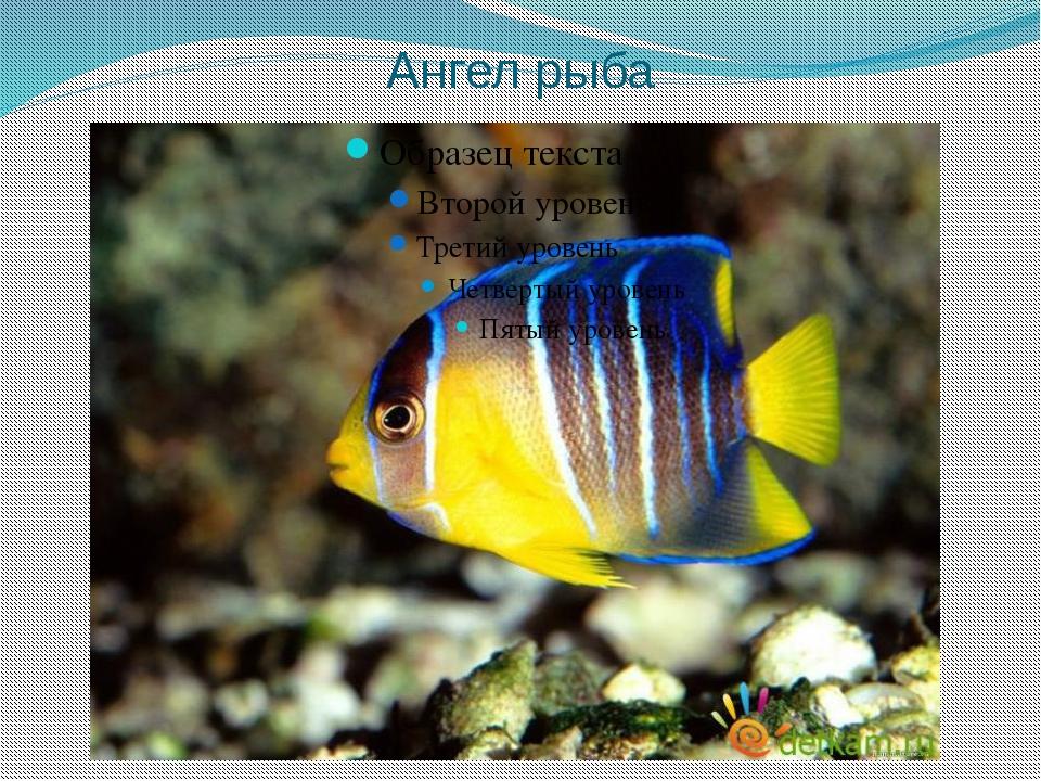 Ангел рыба