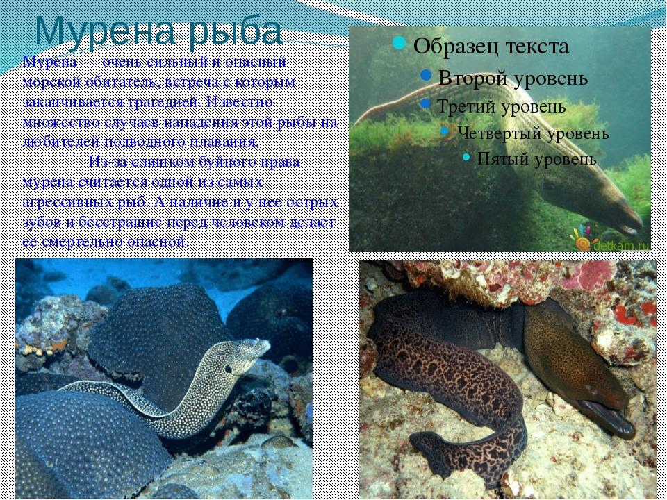 Мурена рыба Мурена — очень сильный и опасный морской обитатель, встреча с кот...