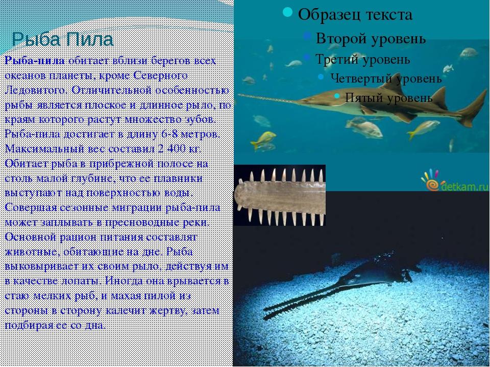 Рыба Пила Рыба-пилаобитает вблизи берегов всех океанов планеты, кромеСеверн...