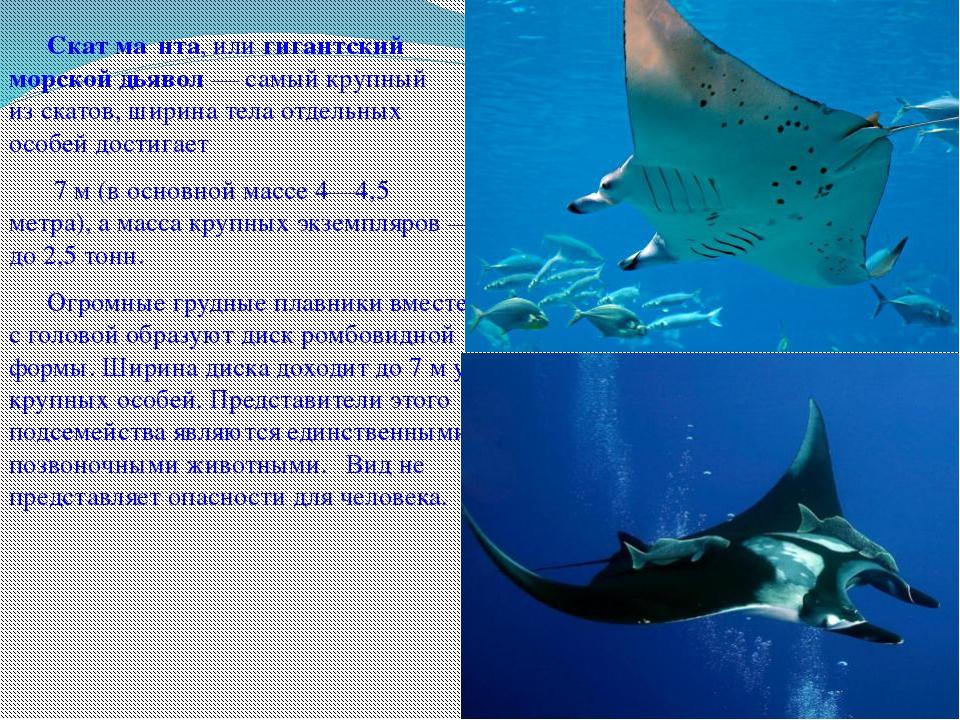 Скат ма́нта, илигигантский морской дьявол— самый крупный изскатов, ширин...