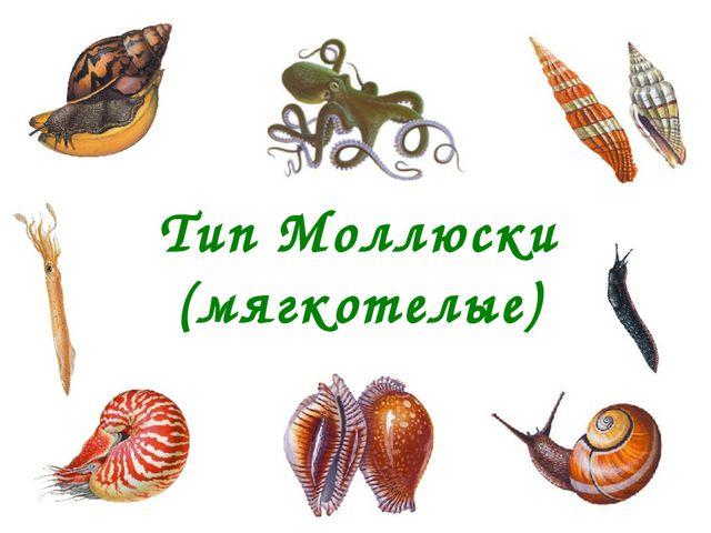 Тип Моллюски (мягкотелые)
