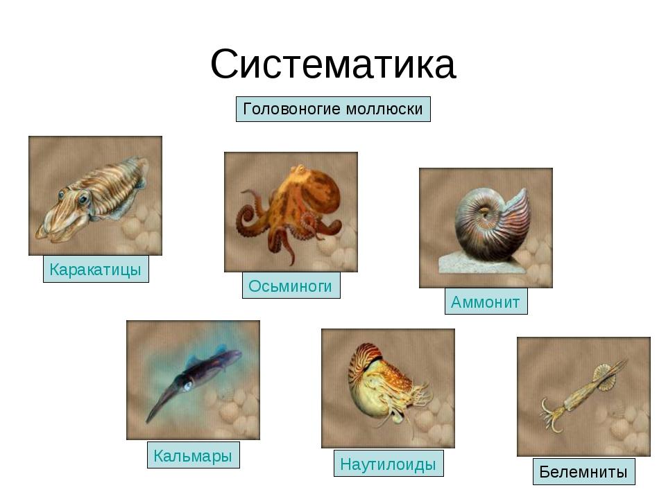 Систематика Головоногие моллюски