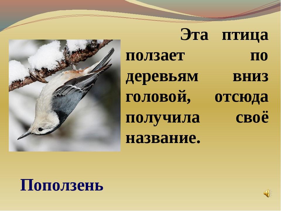 Эта птица ползает по деревьям вниз головой, отсюда получила своё название. П...