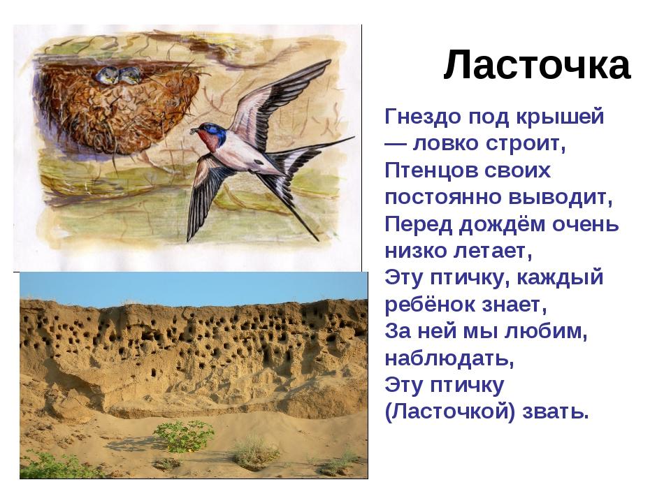 Ласточка Гнездо под крышей — ловко строит, Птенцов своих постоянно выводит, П...