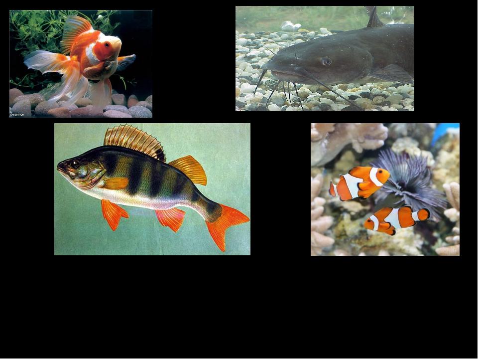 Рыбы – это животные. У них есть хвост, плавники, чешуя.