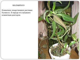 КАЛАНХОЭ Комнатное лекарственное растение- Каланхоэ. В народе его называют ко
