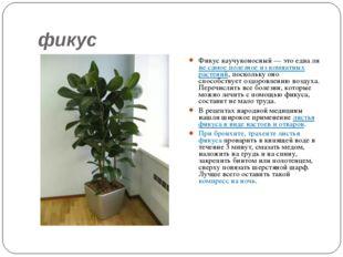 фикус Фикус каучуконосный — это едва ли не самое полезное из комнатных растен