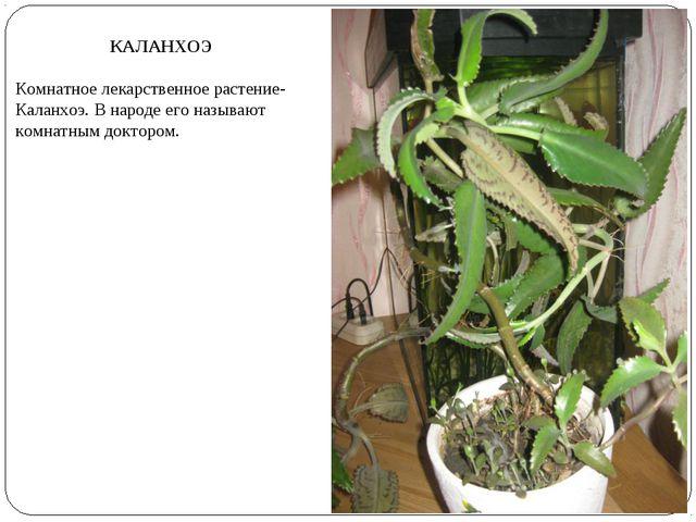 КАЛАНХОЭ Комнатное лекарственное растение- Каланхоэ. В народе его называют ко...