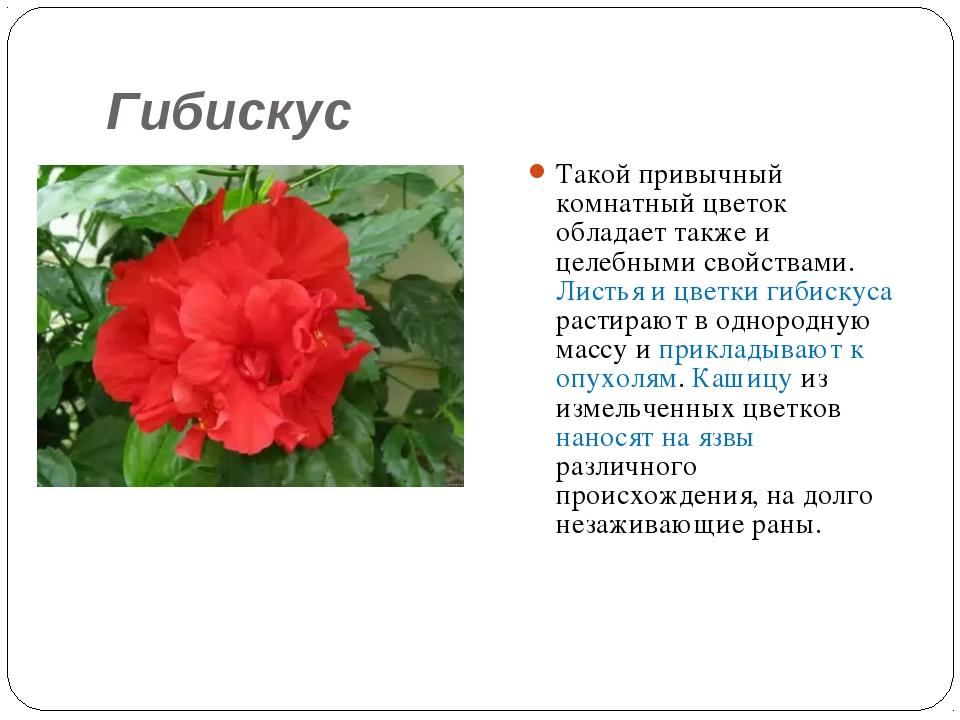 Гибискус Такой привычный комнатный цветок обладает также и целебными свойства...