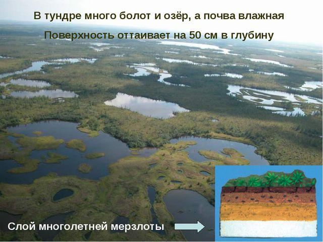В тундре много болот и озёр, а почва влажная Поверхность оттаивает на 50 см в...