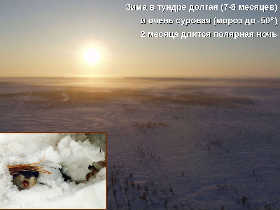 Зима в тундре долгая (7-8 месяцев) и очень суровая (мороз до -50) 2 месяца д...