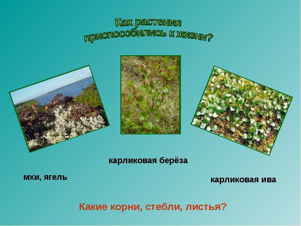 мхи, ягель карликовая берёза карликовая ива Какие корни, стебли, листья?