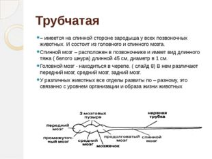 Трубчатая – имеется на спинной стороне зародыша у всех позвоночных животных.