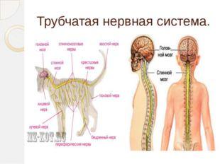 Трубчатая нервная система.