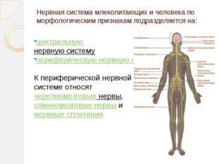 Нервная система млекопитающих и человека по морфологическим признакам подразд