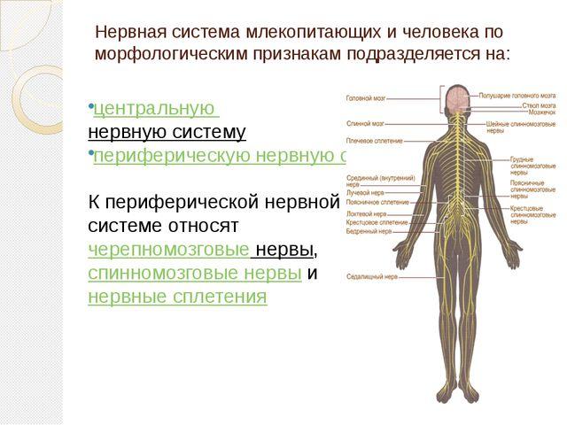 Нервная система млекопитающих и человека по морфологическим признакам подразд...