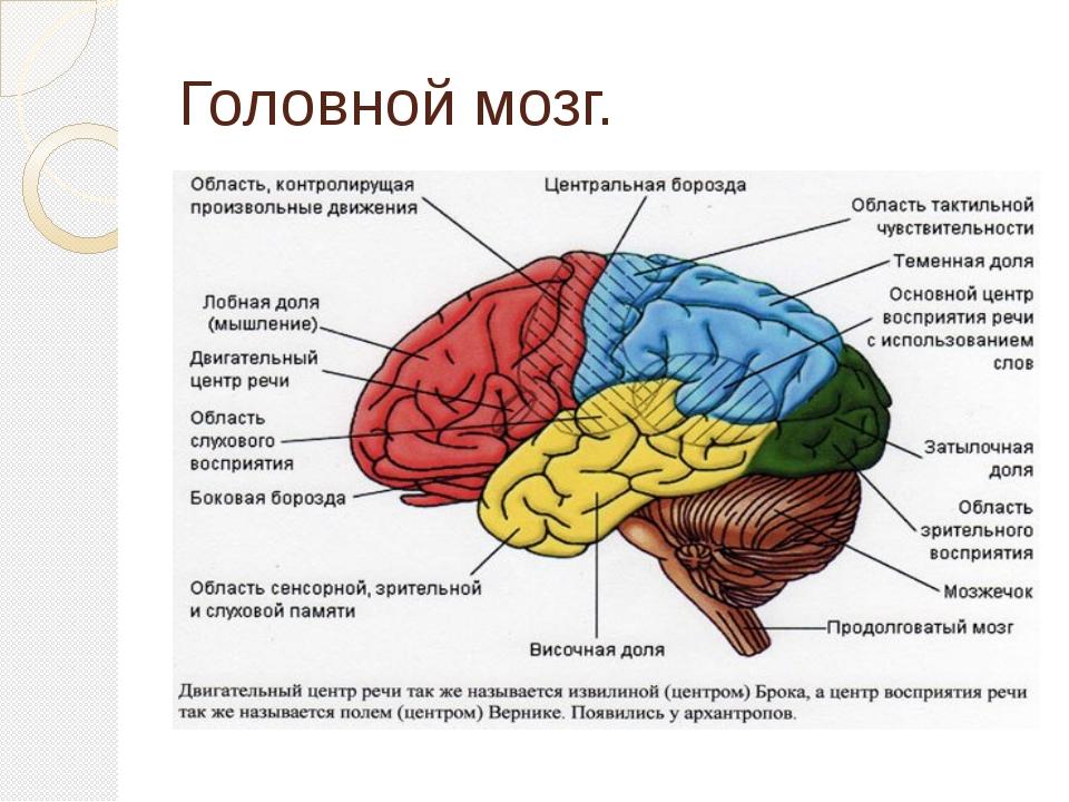 Головной мозг.