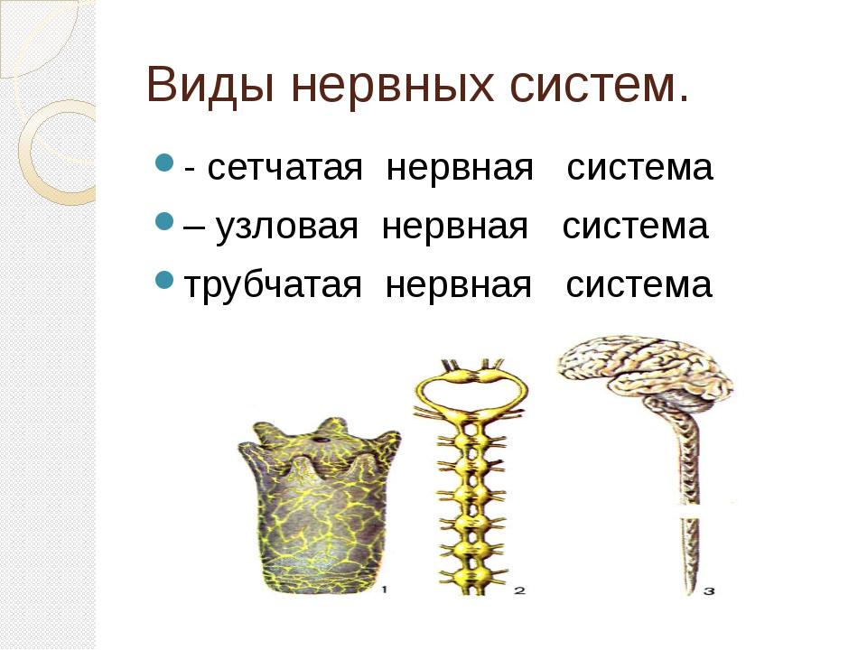 Виды нервных систем. - сетчатая нервная система – узловая нервная сист...