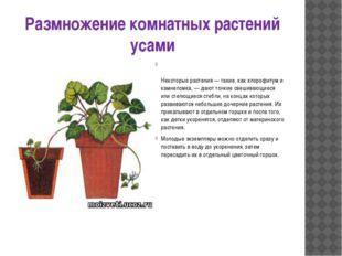 Размножение комнатных растений усами Некоторые растения — такие, как хлорофит