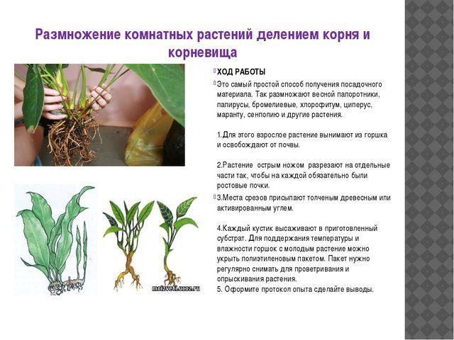 Размножение комнатных растений делением корня и корневища ХОД РАБОТЫ Это самы...