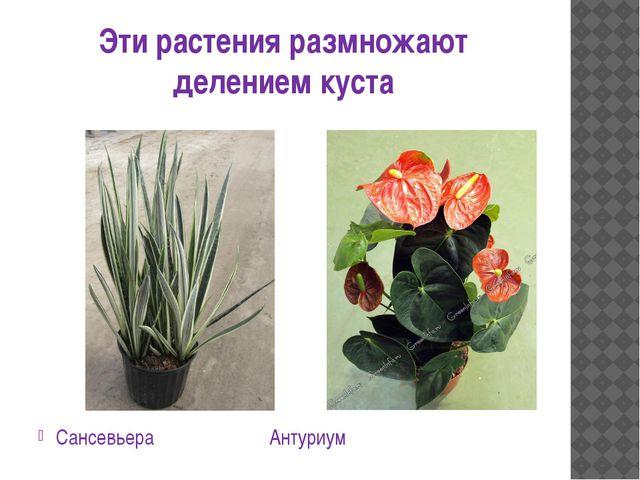 Эти растения размножают делением куста Сансевьера Антуриум