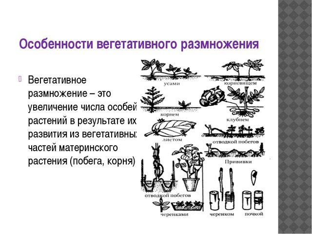 Особенности вегетативного размножения Вегетативное размножение – это увеличен...