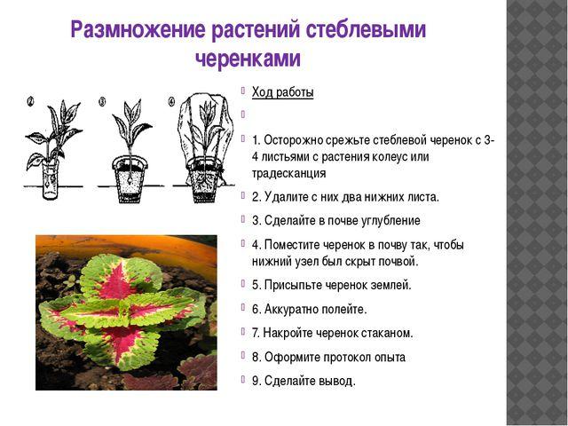 Размножение растений стеблевыми черенками Ход работы  1. Осторожно срежьте с...