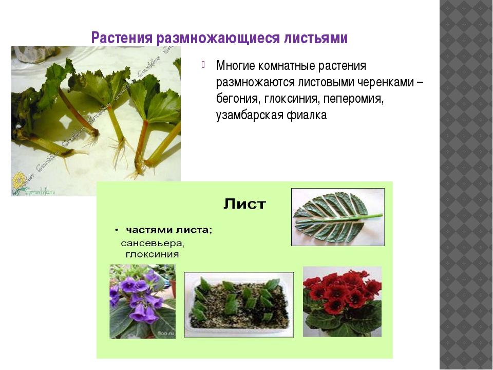 Растения размножающиеся листьями Многие комнатные растения размножаются листо...