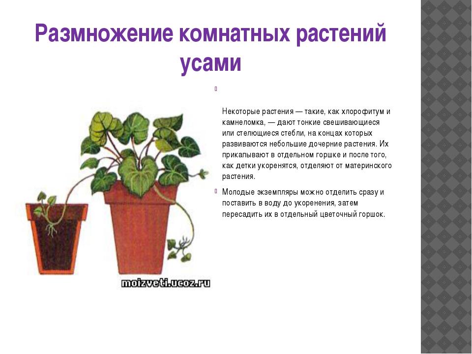 Размножение комнатных растений усами Некоторые растения — такие, как хлорофит...