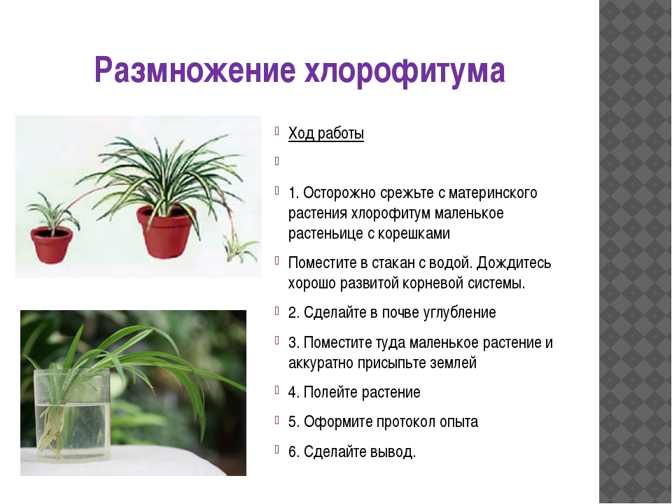 Размножение хлорофитума Ход работы  1. Осторожно срежьте с материнского раст...