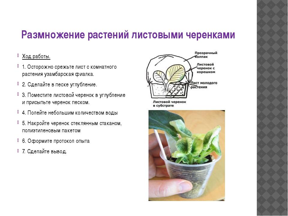 Размножение растений листовыми черенками Ход работы. 1. Осторожно срежьте лис...