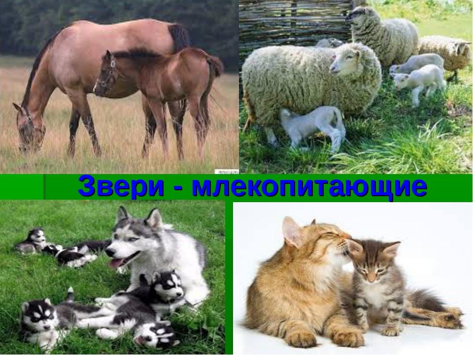 Звери - млекопитающие