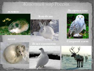 Животный мир России. лемминг Заяц-беляк Полярная сова песец Белая куропатка С