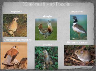 Животный мир России. перепел дрофа стрепет Степная пустельга суслик Мышь-поле
