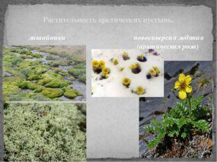 Растительность арктических пустынь. лишайники новосиверсия ледяная (арктическ