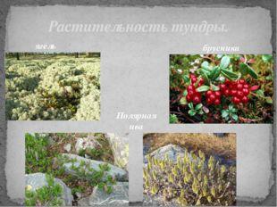Растительность тундры. ягель брусника Полярная ива