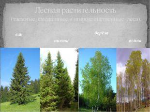 Лесная растительность (таежные, смешанные и широколиственные леса). ель пихта