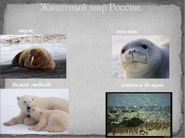 Животный мир России. морж белый медведь тюлень птичьи базары