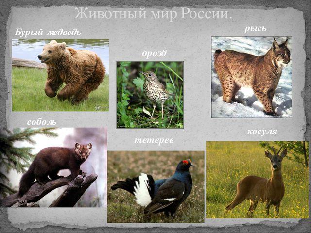 Животный мир России. Бурый медведь рысь соболь дрозд тетерев косуля