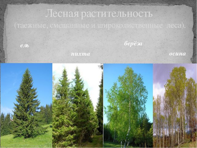 Лесная растительность (таежные, смешанные и широколиственные леса). ель пихта...