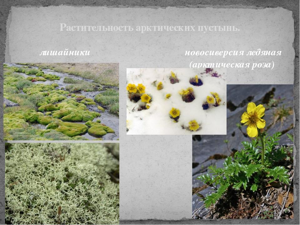 Растительность арктических пустынь. лишайники новосиверсия ледяная (арктическ...