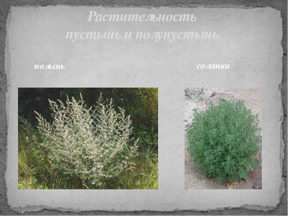 Растительность пустынь и полупустынь. полынь солянка