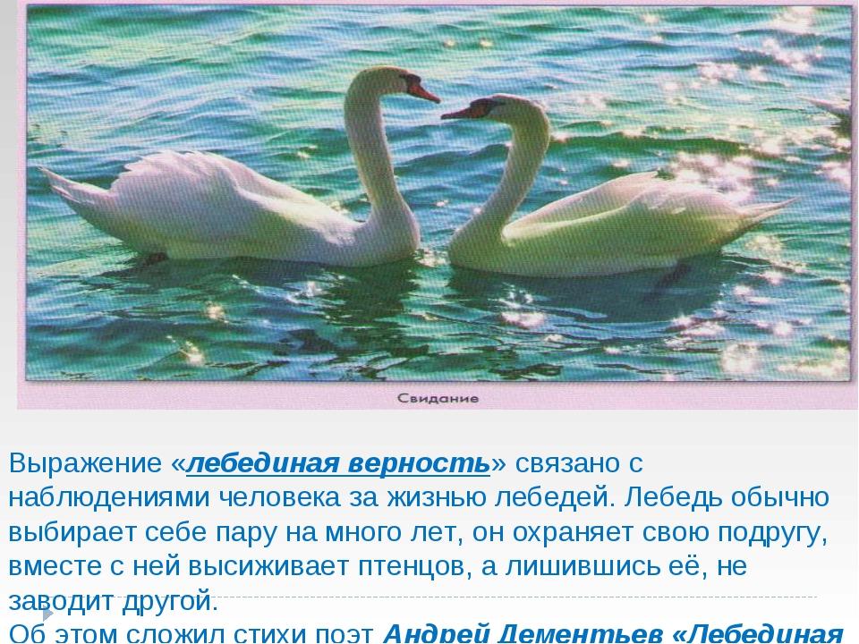 Выражение «лебединая верность» связано с наблюдениями человека за жизнью леб...