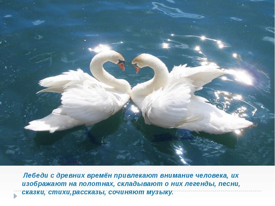 Лебеди с древних времён привлекают внимание человека, их изображают на полот...
