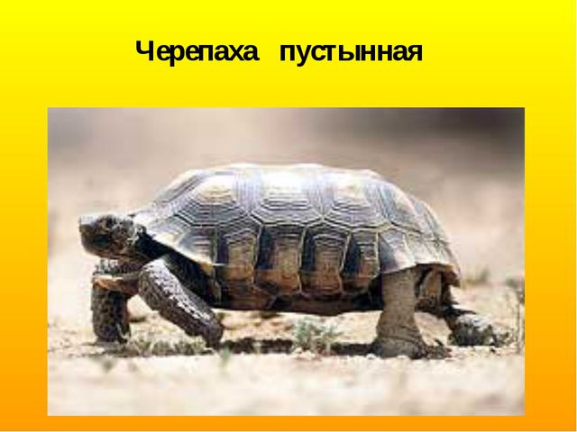Черепаха пустынная