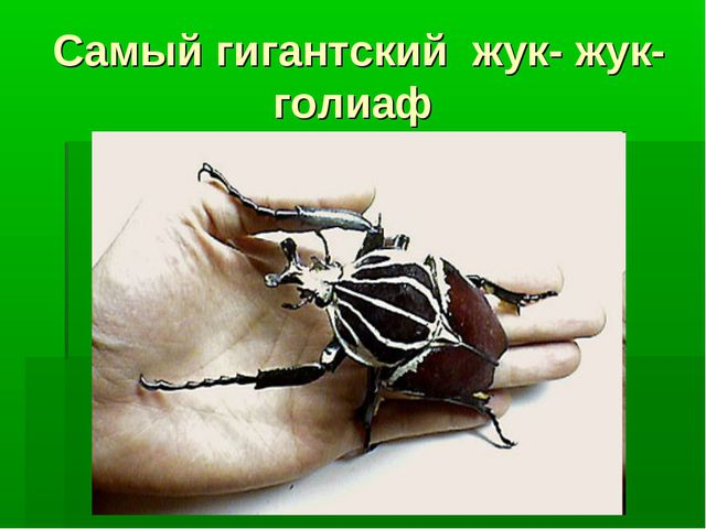 Самый гигантский жук- жук- голиаф